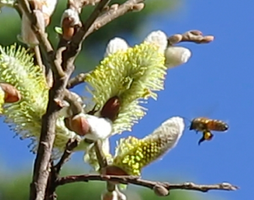 February 9, 2014...My apologies for posting such a fuzzy picture of a bee on the catkins,but it was rather high up.  I wanted to show where the pollen was coming from that is going into my log hive.