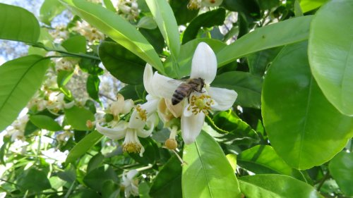 It's almost time to get packed up and head back to Oregon when my son-in-law mentions he saw bees on the grapefruit trees at the rental.