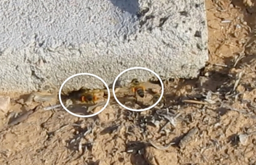 Ground hive bees packing orange pollen.  I wonder where they're getting it?