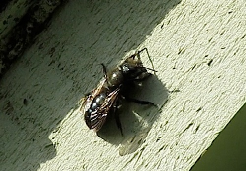 March 30, 2014...I'm guessing this is a male mason bee.  The males live but a few days.  After they mate with the female, they die.
