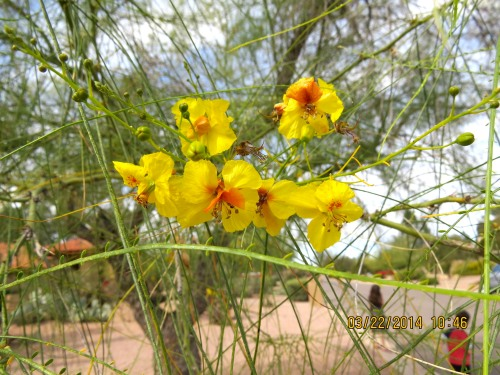 The Palo Verde trees (Parkinsonia aculeata ) were in full blossom at the airport, but there was no way I could get off the shuttle to set up a camera.