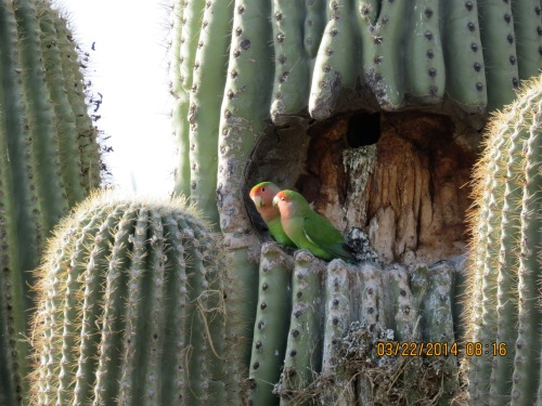 While looking for bees in the Scottsdale area, I found these two green parrots nesting in a saguaro cactus