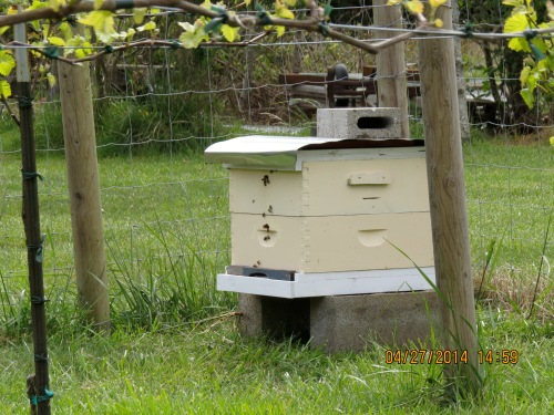 April 27, 2014...Day 3.  The bees seem to be happy.  Maybe they will stay.