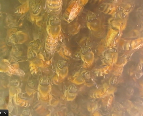 April 15, 2014...the bees can be seen through the observation window.  Chaining to 'measure' for building natural comb.