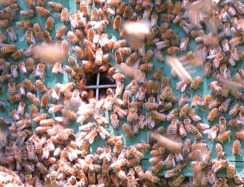 Ten minutes later, the bees appear to be headed back into the hive.