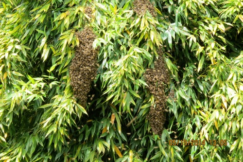 May 19, 2014 (8 days later)...A swarm starts to form in the bamboo.   Could this be two swarms from the same hive?