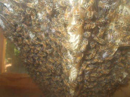 It was easy to shoot this close-up through the south window because the combs are almost touching it.  Does anyone see signs of disease?  To me this looks like a big thriving colony of Carniolans doing what bees do best.