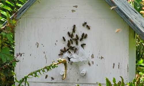 Next day, the birdhouse/hive is in it's new location.  The bees are aware something is different because of the tissue paper stuffed in the entrance hole.
