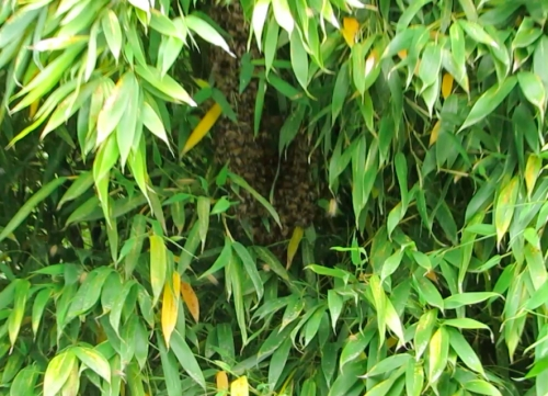 ...and a small swarm in the bamboo.