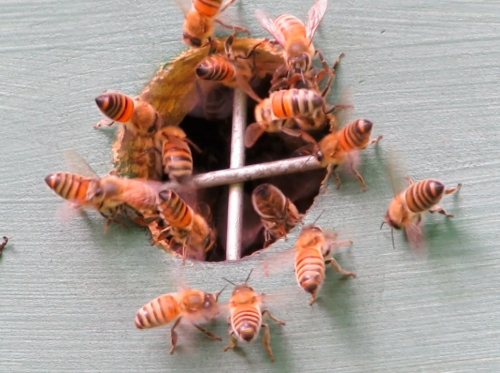 Again, a small group of bees are fanning at the entrance, while other bees are flying around the two swarms.