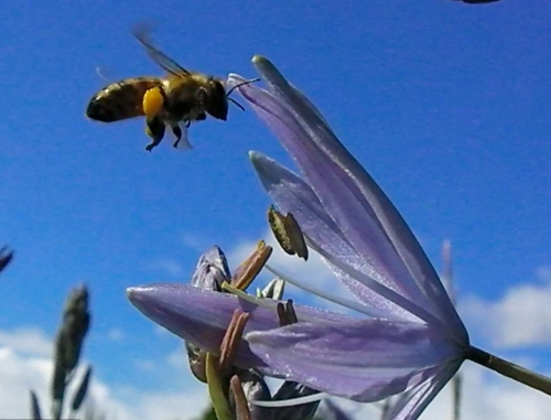May 10, 2014...bee in flight over Camas.