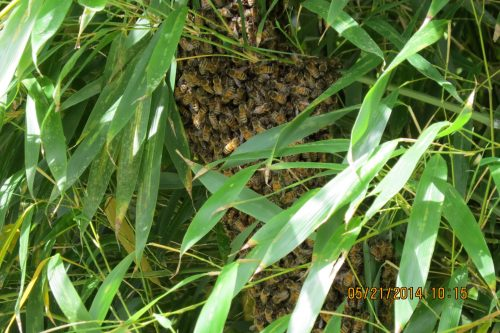 May 21...I checked to see if the swarm was still in the bamboo this morning.  It was.
