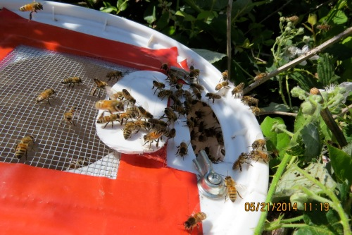 Bob said he was interested in getting the blackberry swarm too.  It went very well.  Here the bees are fanning to indicate the queen is within.