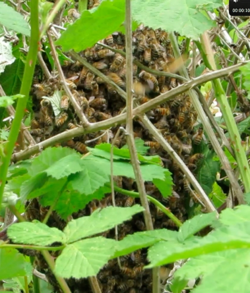 May 20, 2014 (next day)...A small swarm in the blackberries...