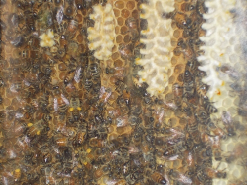 July 4, 2014...Some honey-filled cells are visible in this close-up.  The queen of this colony is Carniolan, but the workers seem to include a number of Carniolan/Italian hybrids.