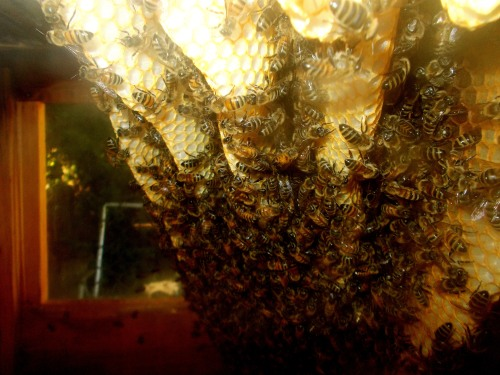 A quick check inside the hive shows no measurable comb building occurred during August.  The colony population also appears unchanged.