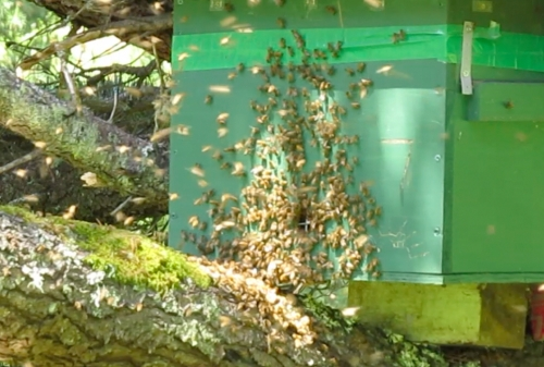 May 11, 2014...This little nuc hive survived the winter without any help from me.  No sugar feeding or pollen paddies. (Tough love)