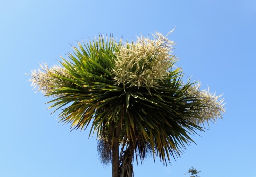 May 28, 2014...The New Zealand Cabbage trees are blooming.  Our bees love it.