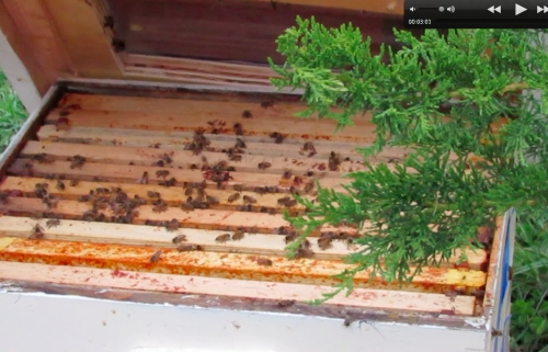 April 24, 2014...Hal coaxes the bees in, opens the lid briefly to show us the bees, before closing everything up.
