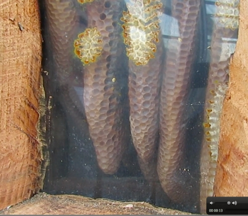 January 22, 2014...Same log hive, the bees are clustering up high.