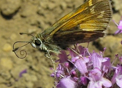 May 27, 2014...A skipper is probing the depths for nectar.  In the video, you can see it try several spots before finally succeeding.  The bees love this plant as well.