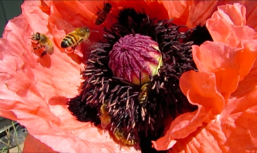 June 2, 2014...The pink poppy just opened up this morning.  Maybe that's why there are so many bees on it.  Many more than the red ones.