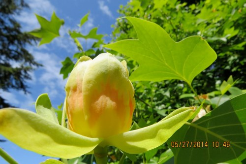 May 27, 2014...Tulip Tree blossom emerges at long last.
