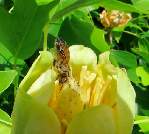 May 27, 2014...this honeybee got down to business, really got into the work of getting nectar.