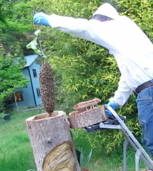 April 27, 2014...Pat drops the little cast swarm into Bee-atrice.  They stay a total of two days, then take off to parts unknown.