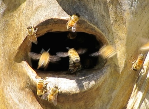 June 9. 2014...lots of bee traffic at the entrance.