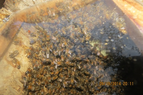June 19, 2014...In this slightly out of focus shot, you can see how far the bees have built the natural comb...almost to the top of the observation window...a length of about 14 inches (35 cm).