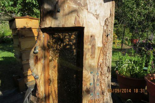 June 9, 2014...the bees can be seen through the observation window.  If they stay, we'll be able to watch the comb building process.