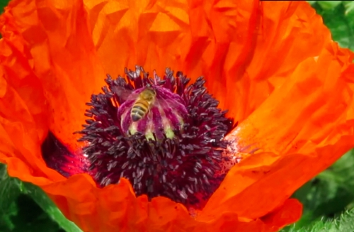 By contrast, there is only one bee at a time on the red poppies.  Maybe they think it's more dignified. :-)