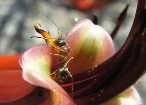Ants like it too.  When I was shooting the video I waited and waited until the ant emerged, then another, and another.