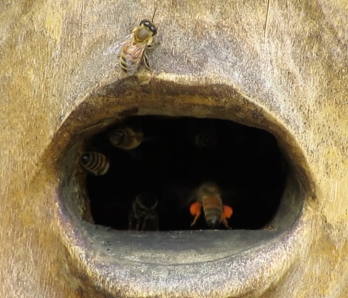 July 14, 2014...July 14, 2014...When I saw reddish orange pollen coming into my Bee-atrice Log Hive, I wondered where it was coming from.being transported into the hive...perhaps nectar too?