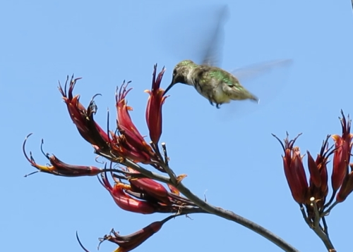 "July 12, 2014...Hummingbirds also visited, but were often chased away by rivals.  Why is that?  There is plenty to go around.  ""Why can't they cooperate for the common good,"" my wife asks? I have no answer...Why can't humans cooperate for the common good?  Looking at our blue planet from space, seeing nothing around that's inhabitable for light year distances, you'd think we'd want to work together for our mutual survival.  Just some thoughts in light of the current world affairs."
