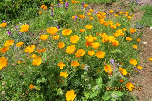 June 16, 2014...This little stand of California poppies planted itself on my Hugelkulture bed.  In the background you can see some wallflowers (Erysimum).