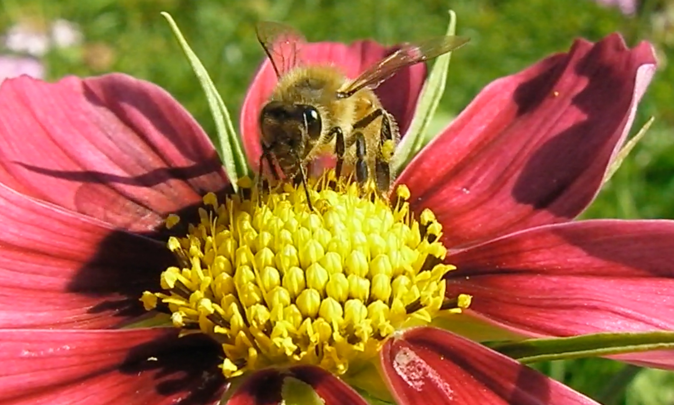 Bees and St. John\'s Wort   Adventures in Natural Beekeeping