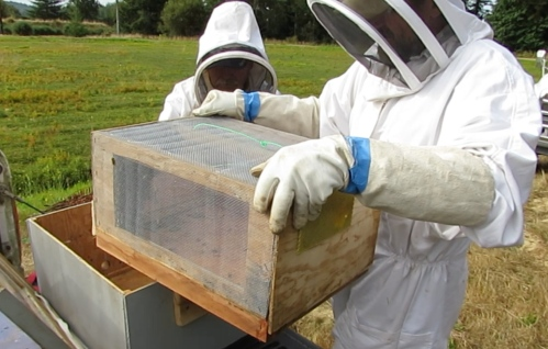 The transfer to Jeff's hive took place the following day.  The screened inner box is lifted out to be placed over Jeff's open hive.