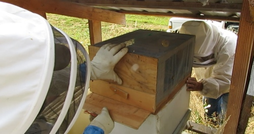 Jeff pulls the bottom out so the bees can enter the hive.