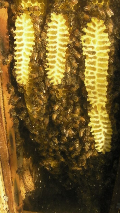 August 10, 2014...A look through the observation window shows many fewer bees after the swarm.