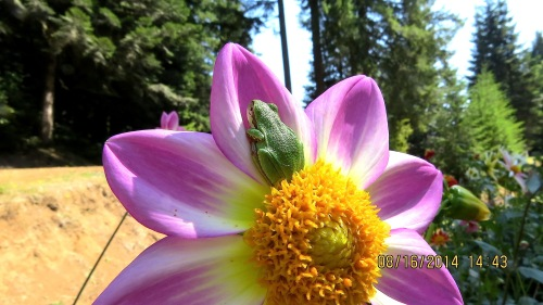 August 16, 2014...This anemone dahlia serves as a rest stop.