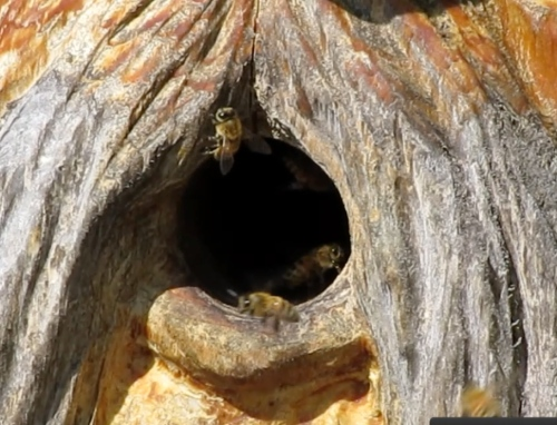 11:15 am...I had been seeing some scout bees around Bee Beard log hive.