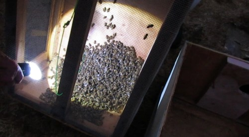 How did the bees come through the hose?  Apparently very well.   Not a big swarm, but big enough to set up on Jeff's farm.