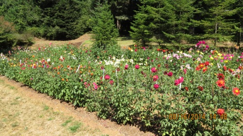 Looking over Kathy's dahlias at some of the 2500 kinds that must be whittled down to 100.
