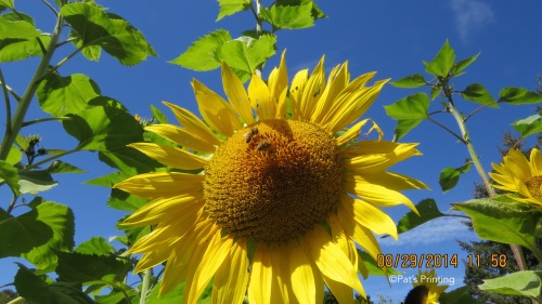 August 29, 2014...When I think of summer, this is what I picture. SUNFLOWERS. Last year we had precious few. This year we grew a few more for the bees.