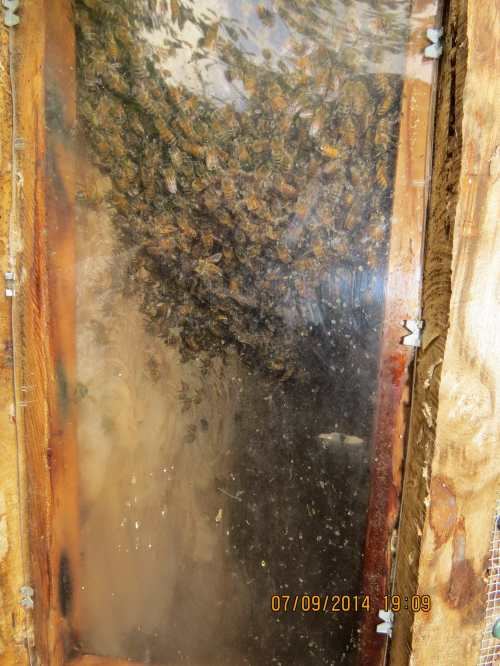 July 9, 2014...After only one month the comb has been built where it's becoming visible in the observation window.  These bees are serious.
