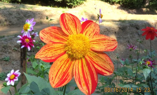 This is one of 2500 varieties that Kathy grew this year.  She must whittle it down to about 100 keepers.