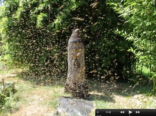 2:20 pm...As luck would have it, (and I do mean luck)  the swarm broke up to relocate to Bee Beard.