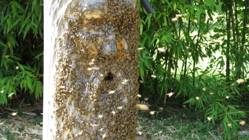 2:30 pm...Bee Beard is covered in bees.  In the video you can see the bees crawling upward and circling the mouth before entering the mouth entrance.